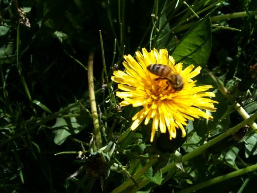 Bee & Dandelion